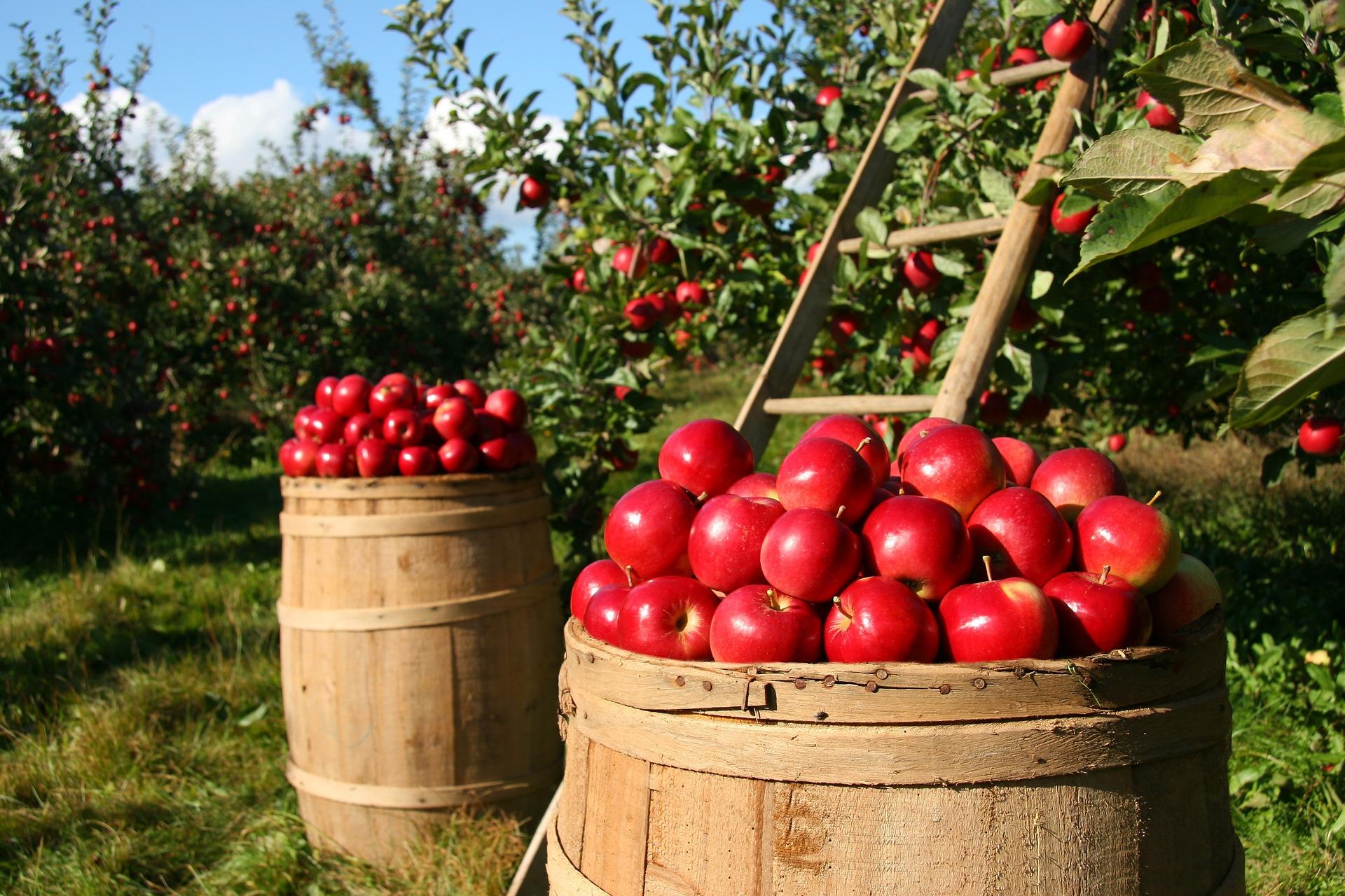 ¿Sabías que las manzanas nos ayudan a estar guapas?
